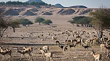 Wild life antelopes with trees and mountains in the background, in Sir Bani Yas, United Arab Emirates