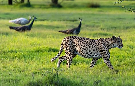 A cheetah walking around peafowls on Sir Bani Yas, United Arab Emirates