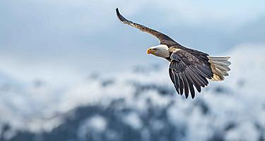 Eagle Soaring through the Air, Sitka, Alaska