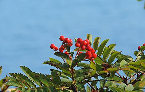 Rowan berries on a tree in Norway