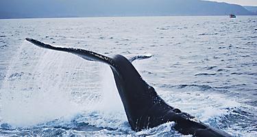 A humpback wale splashing its tail