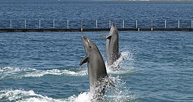 Twin dolphin show in Subic Bay, Philippines