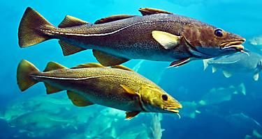 Two cod fish in an aquarium in Norway