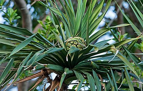 A screwpine plant in Tonga