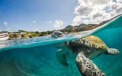 Curacao Turtle Swimming in the Ocean