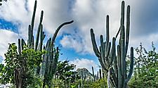 Cacti among nature in Christoffel National Park during a scenic hike in Willemstad, Curacao