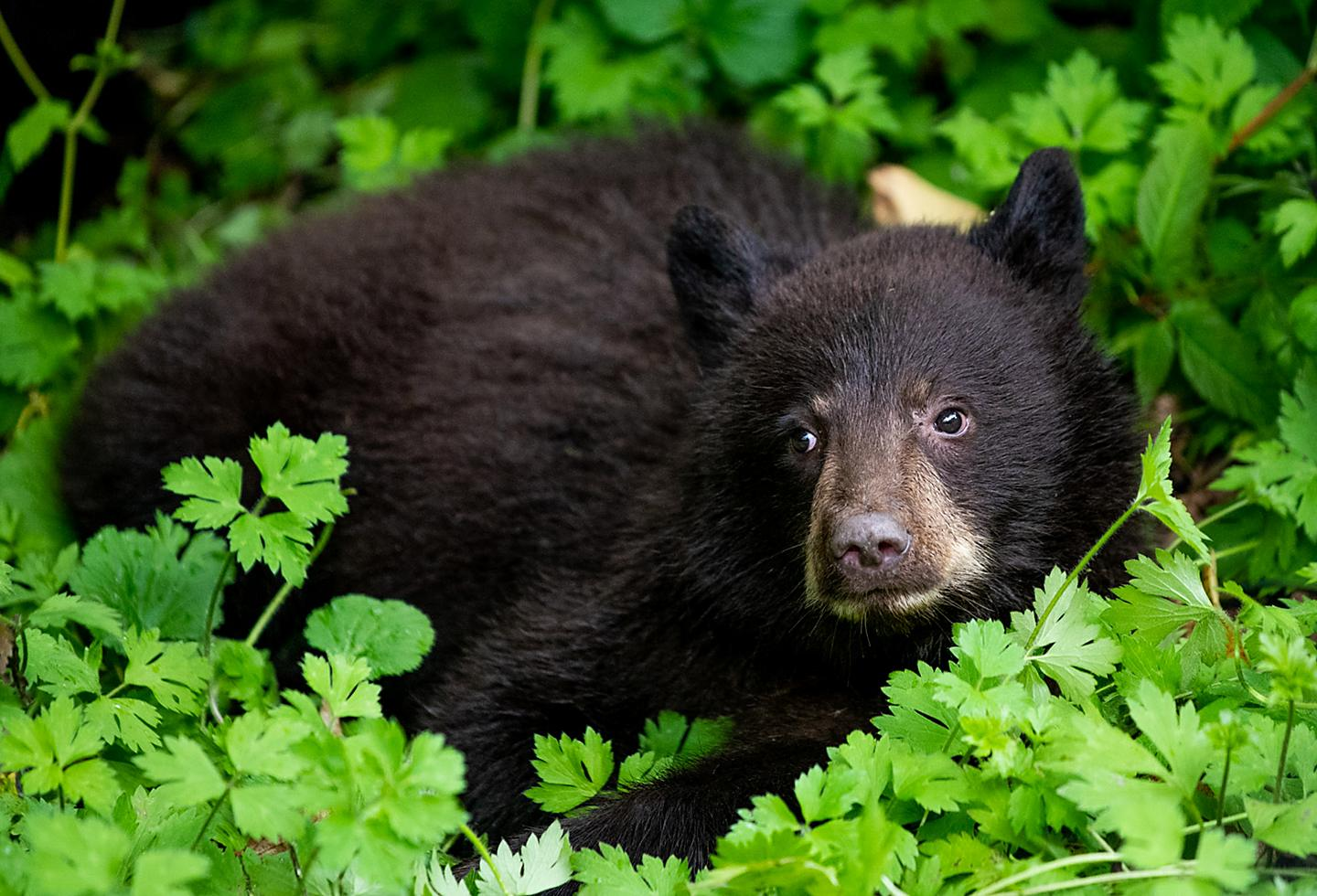 Brownbear Resting On Top of Leaves