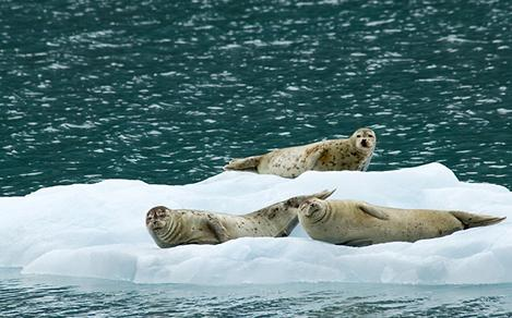 Seals Relaxing on Top of an Iceberg