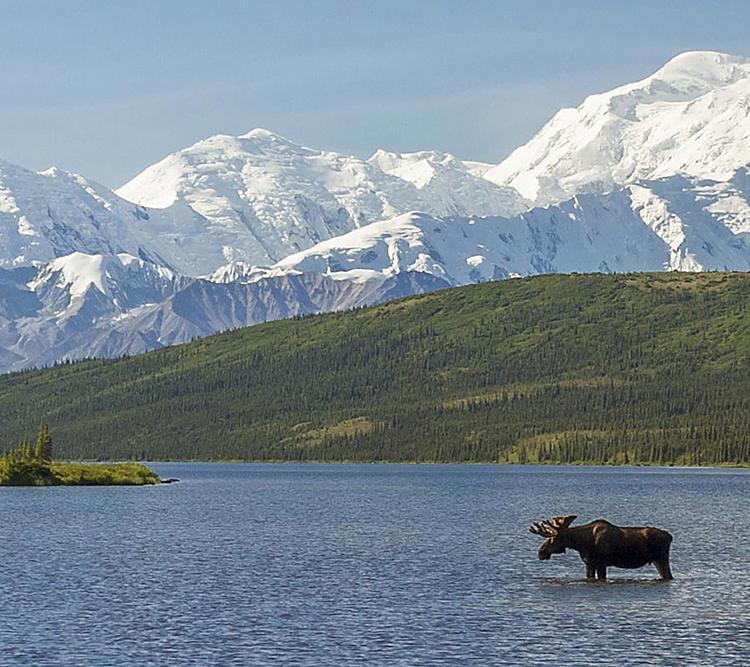 Bull Moose Wildlife Alaska