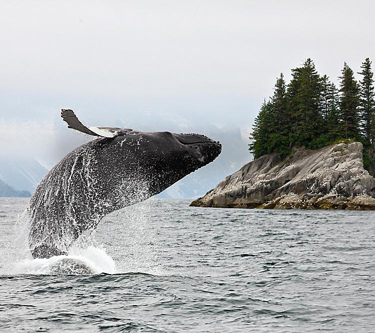 Humpback Whale Jumping Out of the Water in Alaska.