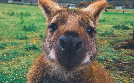 Close-Up of a Kangaroo