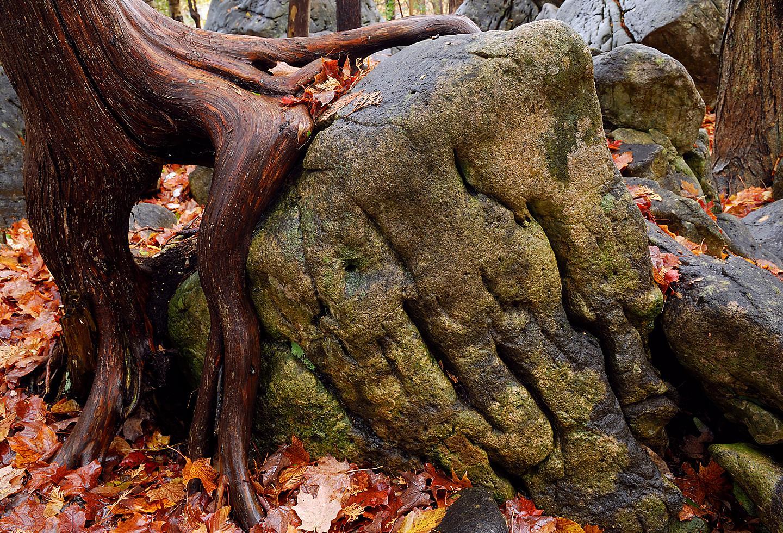Ontario Canada Giant Cedar Tree Fall Forest