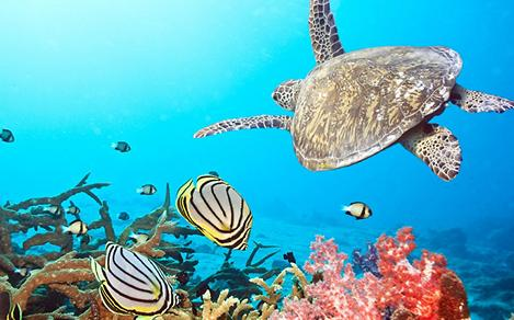 Butterfly Fishes and Turtles swimming together