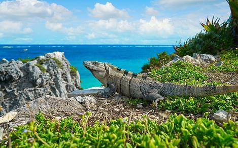 Iguana Tanning in Tulum Riviera Maya