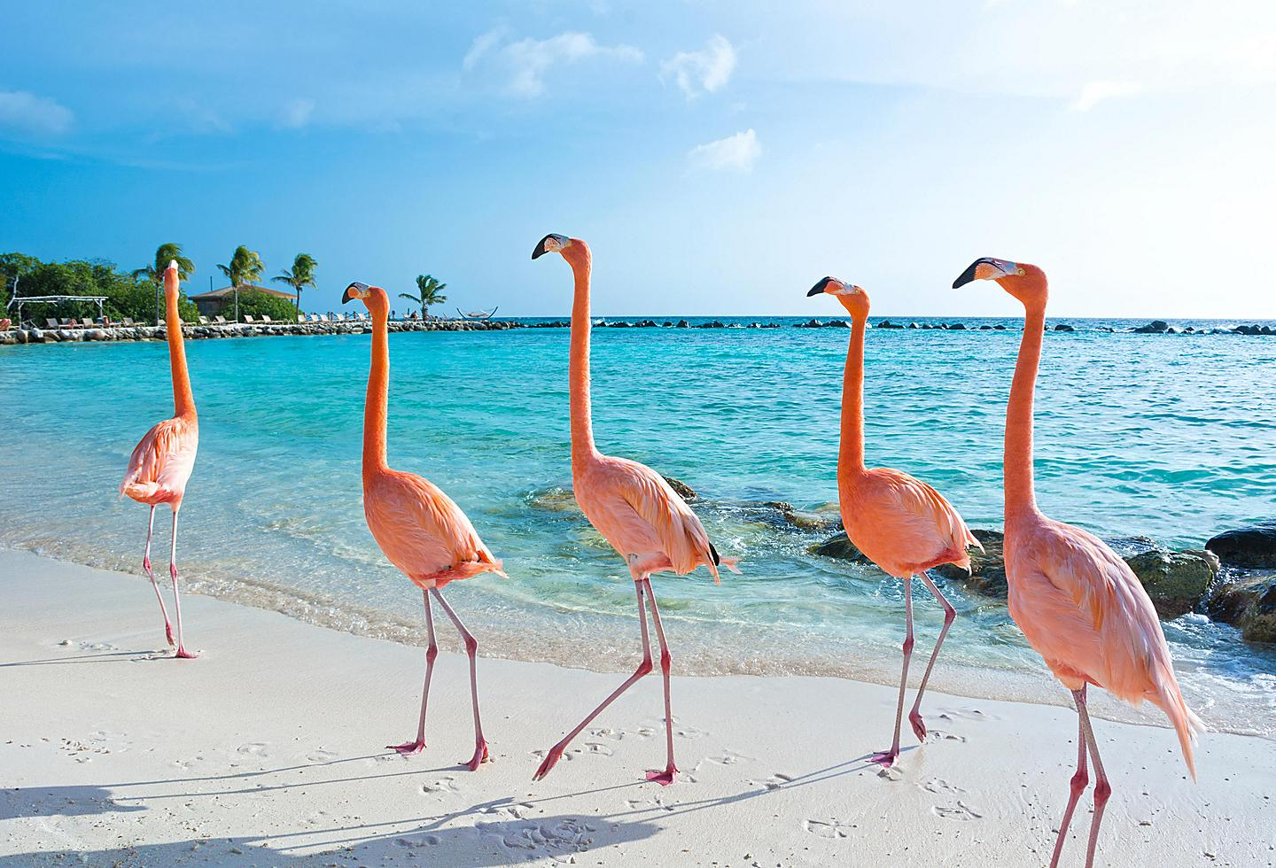 Pink Flamingos in Aruba Island