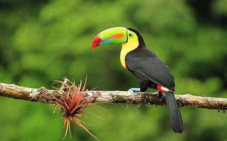 Colorful Toucan on a branch