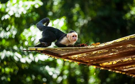 Cute Capuchin Monkey Relaxing on a Roof