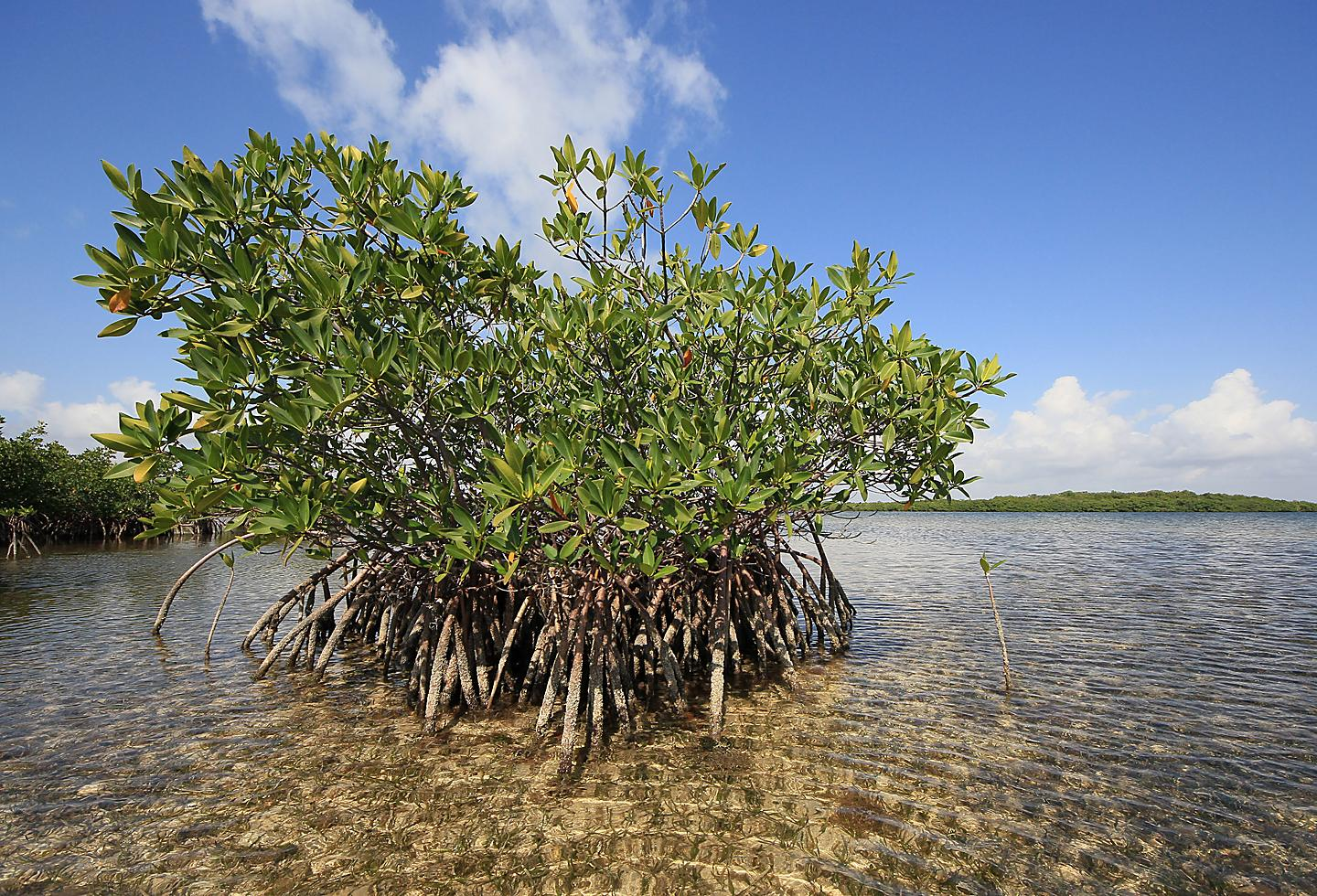 Key West Red Mangrove Trees and Turtle Grass