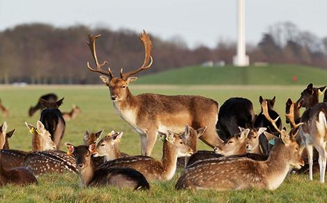 Herd of Deers in Phoenix Park