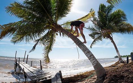 Costa Maya, Mexico Man Climbing a Palm Tree at the Beach