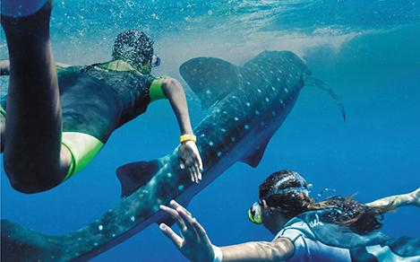Couple Swimming with Whale Sharks  During Mexico Vacation