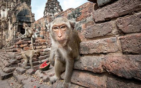 Close-Up of a Monkey Eating Watermelon