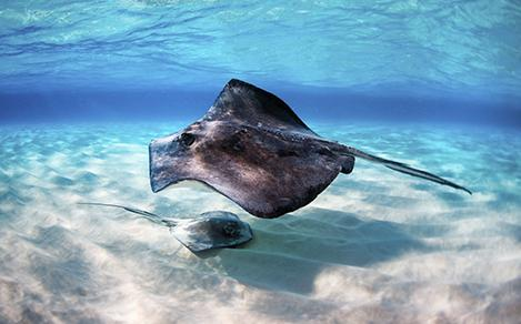 Stingrays in George Town in Grand Cayman
