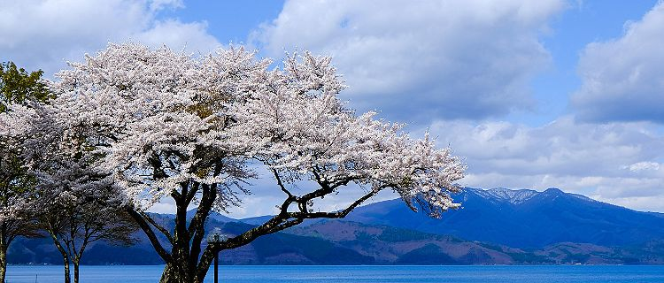 Japan Akita Sakura Tree Cherry Blossom
