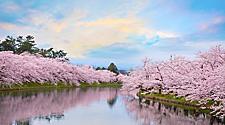 Aomori Japan Sakuras in Full Bloom