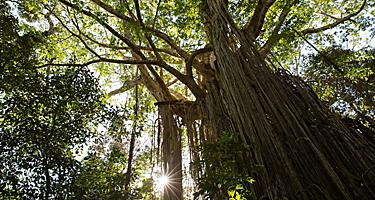 Cairns, Australia Curtain Fig Tree