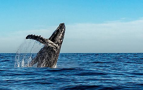 Eden Australia Humpback Whale  Splashing Out of the Water