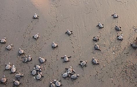 Olive Ridley Turtle hatchlings, Nicaragua