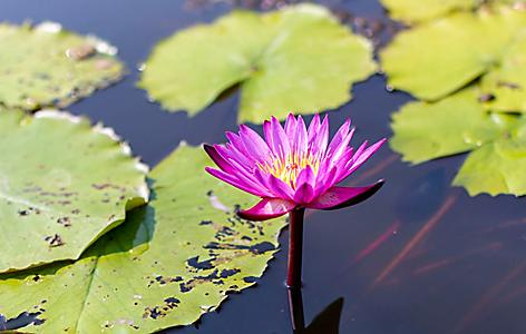 Pink Lotus Waterlily in garden pond