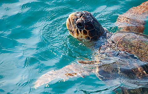 Loggerhead Sea Turtle, Zakynthos